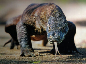 Komodo sees immediate gains from its New7Wonders of Nature status
